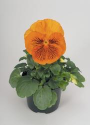 Viola x w. Cats oranžová F1 500s - 1
