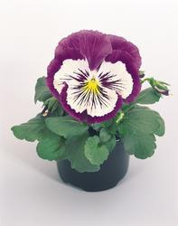Viola x w. Cats fialovobílá F1 500s - 1