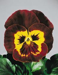 Viola x w. Joker Mahagony & Gold  F2 500s