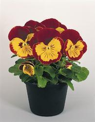 Viola x w. Joker Red & Gold F2 500s - 1