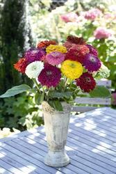 Zinnia elegans Giant Mix 250s - 1