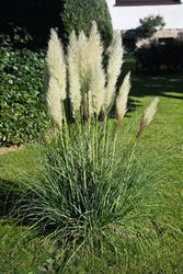 Cortaderia selloana White Feather 0,25g