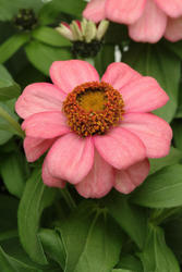 Zinnia maryladica Zahara Coral Rose 100 seeds