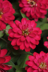 Zinnia maryladica Zahara Double Cherry 100 seeds - 1