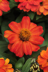 Zinnia maryladica Zahara Fire 100s - 1