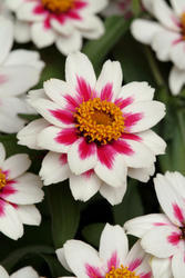 Zinnia maryladica Zahara Starlight Rose 100s - 1