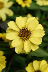 Zinnia maryladica Zahara Yellow 100s - 1