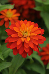 Zinnia maryladica Zahara Double Fire 100 seeds - 1