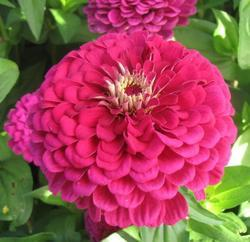 Zinnia Super Yoga Purple 5g