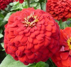 Zinnia Super Yoga Red 5g