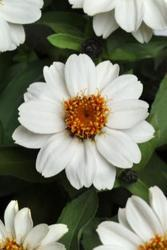 Zinnia maryladica Zahara White 100 seeds