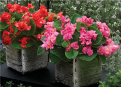 Begonia s. Fiona Red F1 500 pelet - 2