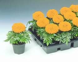 Tagetes erecta Antigua Orange F1 200s - 2