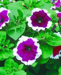 Petunia hybrida Frost fialová F1 500s - 2