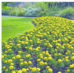Tagetes erecta Antigua Yellow F1 200s - 2