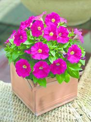 Petunia mill. Picobella Rose F1 250 pelet - 2
