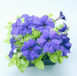 Petunia h. Express Blue F1 500s - 2