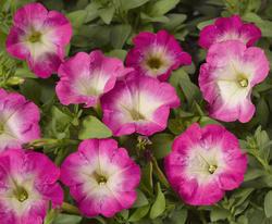 Petunia mill. Picobella Rose Morn F1 250 pelet - 2
