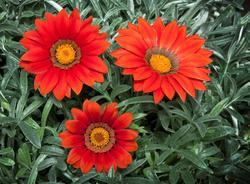 Gazania Frosty Kiss Red F1 200s - 2