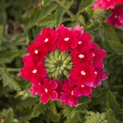 Verbena Obsession Cascade Red with Eye 100s - 2