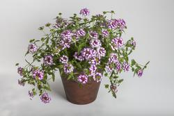 Verbena Obsession Cascade Violet Twister 100s - 2