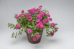 Verbena Obsession Cascade Pink Shades 100s - 2