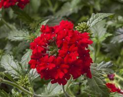 Verbena Obsession Cascade Scarlet 100s - 2
