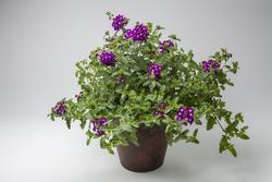 Verbena Obsession Cascade Purple Sh.with Eye 100s - 2