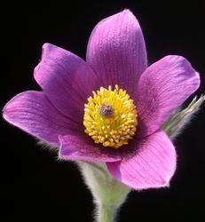 Pulsatilla vulgaris Violet Bells 1g - 2