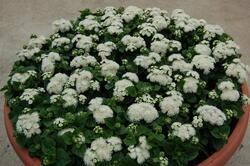 Ageratum h. Aloha White 1000 seeds - 2