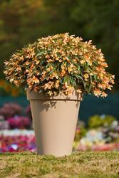 Begonia b. Copacabana Tricolour F1 250 pelet - 2