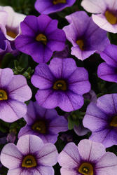 Calibrachoa Kabloom Denim 100 pelet - 2