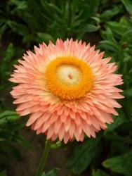 Helichrysum b. Monstrosum Lososové 2g - 2