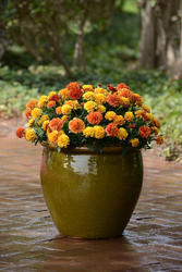 Tagetes patula Strawberry Blonde 200 semen - 2