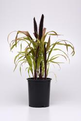 Pennisetum glaucum Copper Prince F1 100 semen - 2