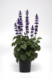 Salvia Interspecific Big Blue 100 semen - 2