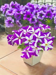 Petunia h. Express Purple Star 500 pelet - 2