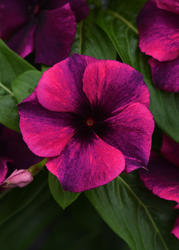 Catharanthus r. Tattoo Black Cherry 250 semen - 2