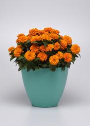 Zinnia m. Zahara Double Bright Orange 100s - 2