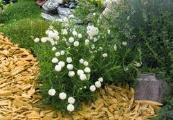 Achillea ptarmica Pearl Reselected 0,25g - 2
