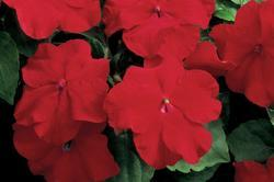 Impatiens w. Accent Red F1 250 seeds - 2