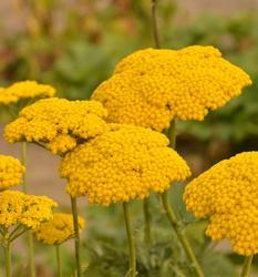 Achillea filipendulina Cloth of Gold 0,25g - 2