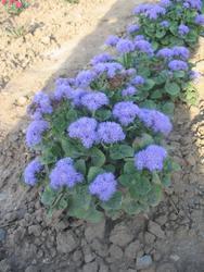 Ageratum houstonianum Blue (Capri) 1g - 2
