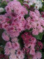Ageratum houstonianum Pink 1g - 2