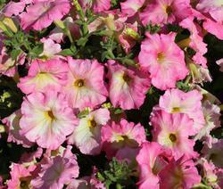 Petunia hybrida Alenka F1 1/16g - 2