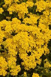 Alyssum saxatile compactum Gold Dust 1g - 2