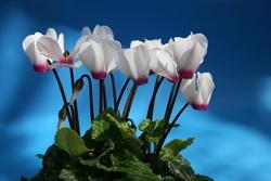 Cyclamen persicum mini Anneli 100 seeds - 2