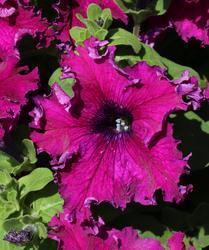 Petunia h. Aphrodite purpurová F1 500 pelet - 2