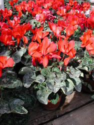 Cyclamen persicum Scarlet Red 100 seeds - 2