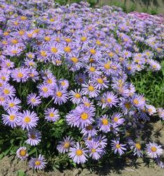 Aster alpinus Light Blue 1g - 2